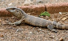 White-throated Monitor (Varanus albigularis) juvenile (berniedup) Tags: lowersabie kruger whitethroatedmonitor varanusalbigularis lizard monitor taxonomy:binomial=varanusalbigularis