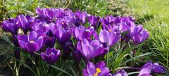 Crocuses (yvonnepay615) Tags: panasonic lumix gh4 flower crocus mygarden platinumheartaward