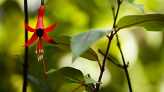 Brinco-de-Princesa (Fcsia) / Flowering plant (Fuchsia) (ricardo.baena) Tags: brazil nature brasil natureza fuchsia paranapiacaba brincodeprincesa floweringplant fcsia notreatment semtratamento a6000