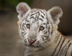 White Bengal Tiger Cub (Jasper Gielen) Tags: portrait cute cat zoo cub nikon tiger portrt tierpark portret tijger tigre whitetiger dierentuin 80400mm dierenpark bengaltiger olmen felidae knigstiger wittetijger tigreblanco welp olmensezoo pantheratigristigris bengaalsetijger royalbengaltiger tigreblanc tigredubengale d5300 indischertiger tijgerwelpjes