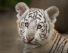 White Bengal Tiger Cub (Jasper Gielen) Tags: portrait cute cat zoo cub nikon tiger porträt tierpark portret tijger tigre whitetiger dierentuin 80400mm dierenpark bengaltiger olmen felidae königstiger wittetijger tigreblanco welp olmensezoo pantheratigristigris bengaalsetijger royalbengaltiger tigreblanc tigredubengale d5300 indischertiger tijgerwelpjes
