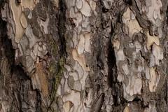 Bark (OM zuiko 50mm lens) (Reemus22) Tags: tree wales 50mm f14 sony tripod om zuiko csc manfrotto valleys befree ilce pontypool mirrorless a6000 emount alpha6000 sonya6000