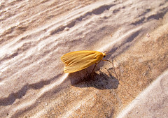 (-) / Eilema sororcula / Orange Footman / Dottergelbe Flechtenbrchen (katunchik) Tags: butterfly moth bulgaria arctiidae schmetterling bulgarien bulharsko
