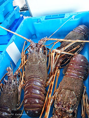 1949  Langostas (Ricard Gabarrs) Tags: mar agua olympus langosta langostas crustaceo crustaceos ricgaba ricardgabarrus