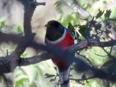Elegant Trogon (Cave Creek Canyon) (stinkenroboter) Tags: arizona bird coronadonationalforest southfork eleganttrogon trogonelegans cavecreekcanyon chiricahuamountains