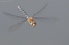 Migrant hawker (kimbenson45) Tags: blue brown motion nature yellow closeup insect flying moving wings movement dragonfly wildlife flight migranthawker