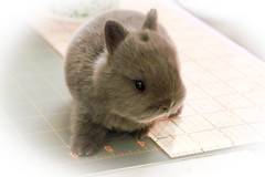 2 weeks old (Craf'it Cakes) Tags: baby cute bunny netherlanddwarfrabbit