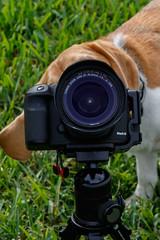 Photog Brody-0768 (Don Burkett) Tags: usa dog beagle animal canon puppy photo unitedstates hound canine photograph dslr brody donburkett canon7dmkii dtburkett