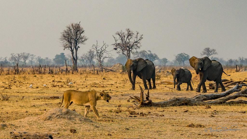 Lion and Elephants
