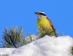 Great Kiskadee - South Dakota! (Terry Sohl) Tags: winter snow bird southdakota december great flycatcher kiskadee 2015 pitangussulphuratus