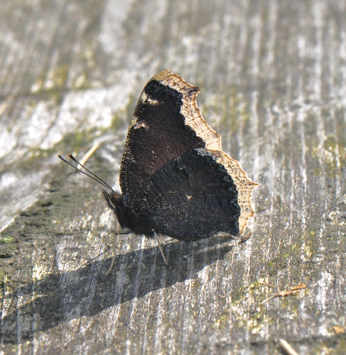 The Mourning Cloak