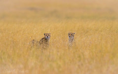Ghosts in the Grass  3179 (Dr DAD (Daniel A D'Auria MD)) Tags: cats nature tanzania feline wildlife cheetah serengeti bigcats predators eastafrica acinonyxjubatus geneticdiversity march2013 danieldauriamd childrenswildlifebooksbydanieldauriamd drdadbookscom march2014 africascats september2015 geneticbottleneck