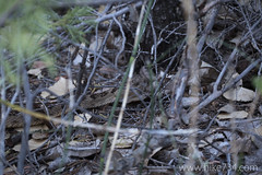 """Western Rattlesnake • <a style=""""font-size:0.8em;"""" href=""""http://www.flickr.com/photos/63501323@N07/23184959045/"""" target=""""_blank"""">View on Flickr</a>"""