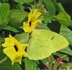 a recent Cloudless sulphur (Vicki's Nature) Tags: november flowers autumn yellow canon butterfly georgia big s5 1087 twocolors cloudlesssulphur vickisnature gibbsgardens