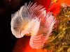 Feather duster worm II (altsaint) Tags: 45mm featherworm gf1 panasonic sardinia mediterranean scuba underwater