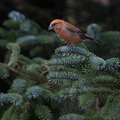 Common crossbill (Andy Davis Photography) Tags: crossbill perched conifer loxiacurvirostra gylfingroes canon male outdoor forestry