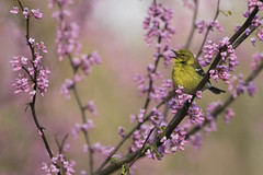 Pine Warbler on Redbud (www.studebakerstudio.com) Tags: pine warbler pinewarbler bird songbird redbud nature wildlife spring singing song shawnee ohio