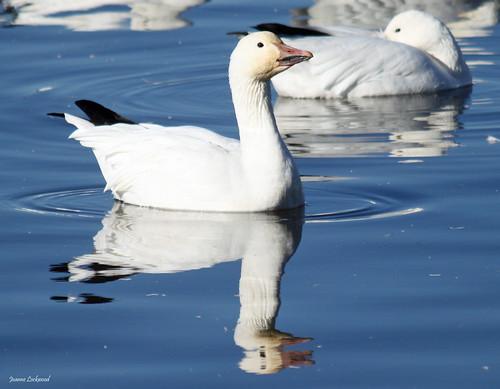 Snow Goose drinks