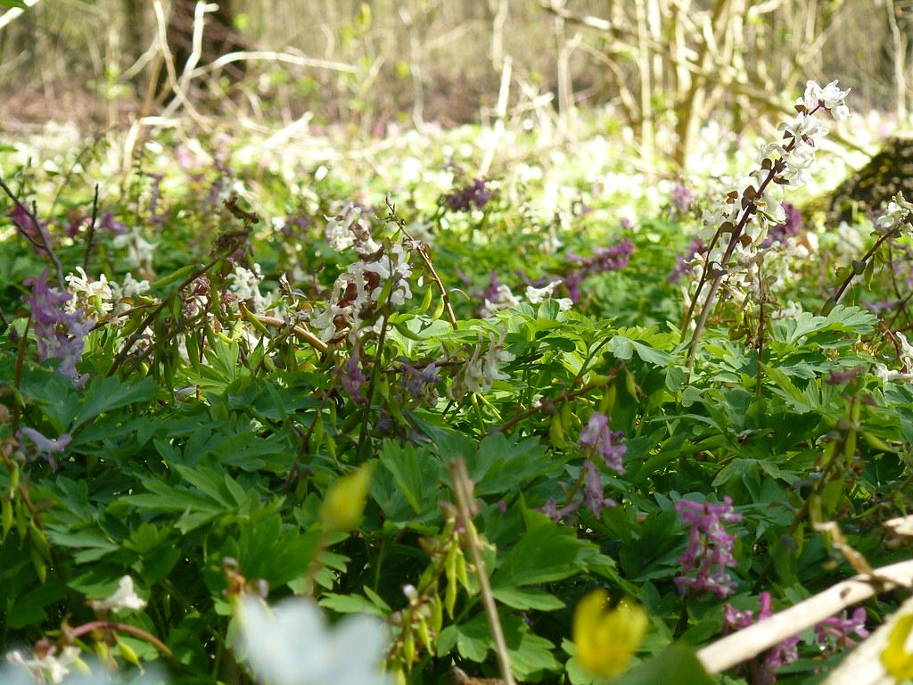 Corydalis cava- Hohler Lerchensporn16