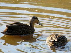 Mottled Ducks (South Padre Island BNC) (stinkenroboter) Tags: southpadreislandbirdingandnaturecenter texas mottledduck anasfulvigula bird