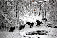 IMG_3604 (runtzka) Tags: kinburnproperty wildturkeys