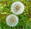Dandelion Seed Heads .. (** Janets Photos **) Tags: uk plants nature weeds grasslands dandelions