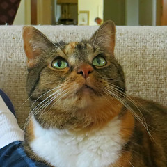 The Many Faces of Gracie #2 (19 January 2017) 3268Rif sq2 (edgarandron - Busy!) Tags: gracie patchedtabby cat cats kitty kitties tabby tabbies cute feline