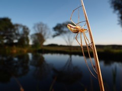 Gemeine Streckerspinne - Tetragnatha montana (Branco Hell) Tags: laowa makro speedbooster 15mmf4 teich fischweiher pond eifel flash südeifel germany spider spinne reflection spinnentier weitwinkel wideangle
