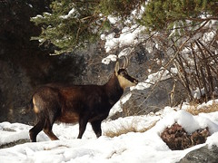 Chamois_à Vercorin (JMVerco) Tags: chamois vercopictureme hiver winter inverno neige snow neve coth coth5 flickrchallengegroup sunrays5