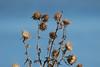 Winter Bouquet (Jan Nagalski) Tags: wildflower thistle dry winter bouquet seed blue bluesky nature wildlife michigan jannagalski jannagal