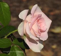Summer Rose (AngelVibePhotography) Tags: roses flower blossoms blossom garden nature photography macro nikon closeup flowers plant outdoor rose pink northcarolina depthoffield nikonp900 doublefantasy