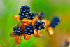 DSC_0659 (david linson) Tags: 美麗台灣 野花的種子 beautiful taiwan wildflower seeds