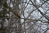 Owl with Breakfast (Plummerhill) Tags: barredowl mouse breakfast muscatatucknwr