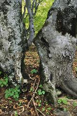 faggi, beeches (paolo.gislimberti) Tags: alberifaggifaggetapalanfrè trees beeches faggetadipalanfrè beecheswood sottobosco undergrowth