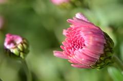Colors in winter (dfromonteil) Tags: fleur flower pink rose vert green colors couleurs nature plant plante macro bokeh light lumière sunlight