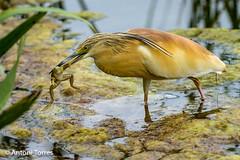L'hora de dinar (vfr800roja) Tags: natura emporda martinetros aiguamolls girona ocells castellódempúries catalunya españa es