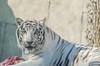 White Tiger (Moh'd Ibrahim) Tags: wildlife whitetiger animals animal zoo alainzoo