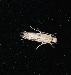 3mm long moth landed on computer screen P1170498 (Steve & Alison1) Tags: 3mm long moth landed computer screen