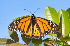 Monarkfjäril, Gran Canaria (Magnus Ryman) Tags: fjäril monarchdanausplexippus monarkfjäril monarchbutterfly grancanaria canaryislands spanien spain kanarieöarna birds fåglar