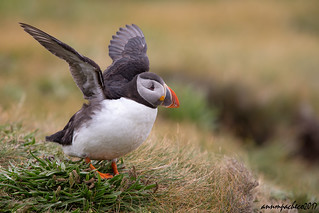 puffin on tussock