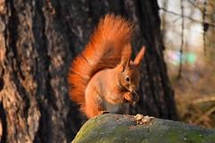 red squirrel (JoannaRB2009) Tags: redsquirrel animal squirrel light sunlight sunlit nature rock stone park łódzkie lodzkie łódź lodz polska poland winter