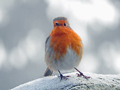 Robin in the fog and frost searching for food! (macfudge1UK) Tags: nature 2016 avian bird britishbird britishbirds england fauna gb greatbritain oxfordshire oxon rspbgreenstatus uk wildlife winter ©allrightsreserved bbcspringwatch nikon coolpix coolpixp610 p610 nikoncoolpixp610 britain erithacusrubecula fog frost frozen robin wall goldwildlife coldsnaps ngc