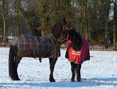 That's where friends are for (joeke pieters) Tags: 1320494 panasonicdmcfz150 fries friesian paard horse pferd cheval woold winterswijk achterhoek gelderland nederland netherlands holland sneeuw snow