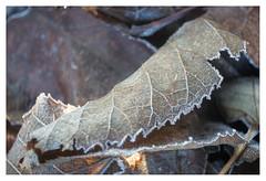 A touch of frost (leo.roos) Tags: leaf leaves blad bladeren frost vorst veins nerven meyertrioplan1728 1939 cmount cinelens movie nex6 nex dayprime day17 dayprime2017 dyxum challenge prime primes lens lenses lenzen brandpuntsafstand focallength fl darosa leoroos