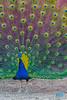 0106 IMG_3802 (JRmanNn) Tags: peacock bonniespringsranch artistic rendition lasvegas nature