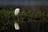 Early Snow (gseloff) Tags: snowyegret bird wildlife horsepenbayou pasadena texas kayakphotography gseloff