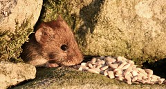 the little vole................ (Suzie Noble) Tags: vole bankvole mammal stonedyke strathglass struy wall garden