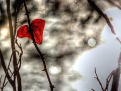 Heart Among the Thorns (clarkcg photography) Tags: leave red heart thorns vine sticker sharp barb bokeh water sparkle sunlight flora florafriday7dwf 7dwf