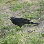 Tordo (Curaeus curaeus) Austral blackbird thumbnail