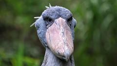 Blue Eyes and an Enormous Beak (Nephentes Phinena ☮) Tags: nikond300s vogelparkwalsrode shoebill schuhschnabel birds animals